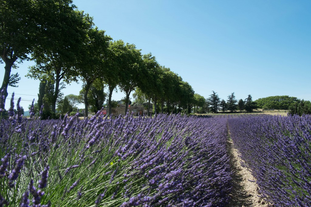 Lavendel nationale7.me